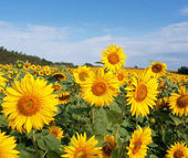 Sunflower field — Foto de Stock
