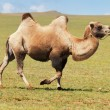 Stock Photo: One camel in mongolia