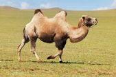 One camel in mongolia — Stock Photo