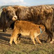 Brown cow and calf suckling — Stock Photo #24569445