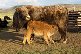 Brown cow and calf suckling — Stock Photo