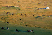 The nomad house in Mongolia and livestock — Stock Photo