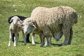 羊和小羊 — 图库照片