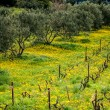 Olive trees in vineyard covered with yellow dandelion flowers — Stock Photo