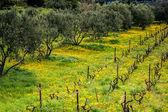 Oliveiras na vinha coberto de flores amarelas-leão — Fotografia Stock