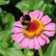 Bumble Bee on pink Zinia flower — Stock Video