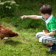 Stock Photo: Boy is feeding chickens