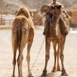 Two camels — Stock Photo #46832821