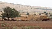 Cow farm Israel — Stock Photo