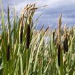 Summer Cattails Against a Stormy Sky - Stock Photo