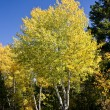 Golden Fall Aspen Tree — Stock Photo #12383407