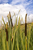 Cattails, Sky and Clouds — Stock Photo