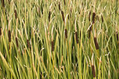 A Forest of Cattails — Stock Photo
