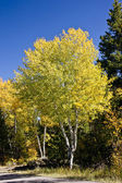 Golden Fall Aspen Tree — Stock Photo