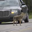 Jaywalking Coyote - Stock Photo