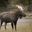 Moose Beside Snake River — Stock Photo #12433530