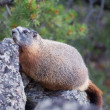 Yellow-Bellied Marmot - Stock Photo