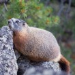 Royalty-Free Stock Photo: Yellow-Bellied Marmot