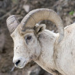 Bighorn Sheep Portrait — Stock Photo