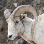 Bighorn Sheep Portrait — Stock Photo