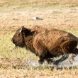 Stock Photo: Charging Bison in Yellowstone Park