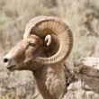 Proud Bighorn Sheep — Stock Photo