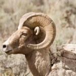 Proud Bighorn Sheep — Stock Photo