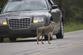 Jaywalking Coyote — Stock Photo
