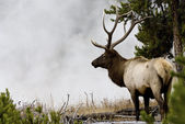 Misty Morning Bull Elk — Stock Photo