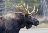 Great Moose Portrait — Stock Photo