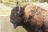 American Buffalo — Stock Photo