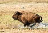 Charging Bison in Yellowstone Park — Stock Photo
