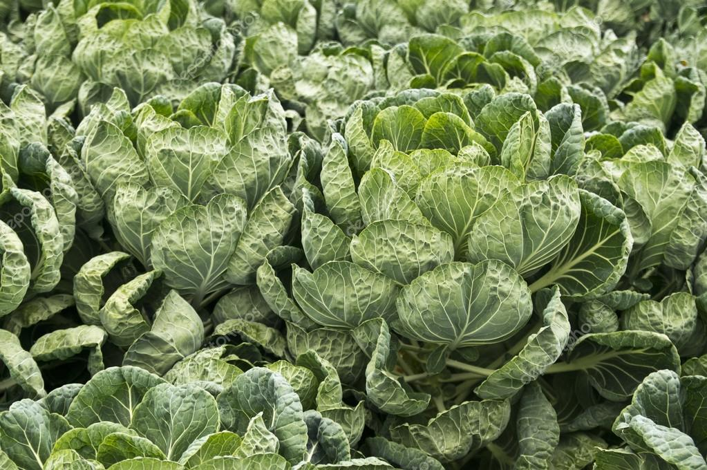 Lush brussels sprout plants at a California farm — Stock Photo #13031266