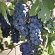 Grapes on the Vime — Stockfoto