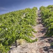 Hillside Vineyard — Stock Photo