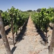 Stock Photo: Vineyard at Winery
