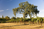 Oak Tree and Vineyard — Stock Photo