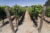 Vineyard at a Winery — Stock Photo