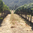 Rolling Hills of Vineyard — Stock Photo #13408331