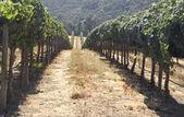 Rolling Hills of Vineyard — Stock Photo
