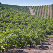 Rolling Hills in Wine Country Vineyard — Stock Photo