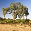 California Vineyard — Stock Photo