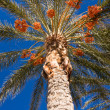 Date Palm Tree - Stock Photo