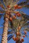 Data sulle palme — Foto Stock