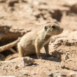 Prarie Dog Pup — Stock Photo