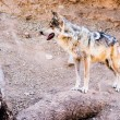 ������, ������: Endangered Mexican Wolf