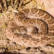 Stock Photo: Desert Rattlesnake
