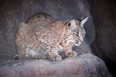Perching, Watchful Bobcat — Stockfoto