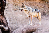 Endangered Mexican Wolf — Stock Photo
