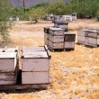 Field of Bees — Stock Photo